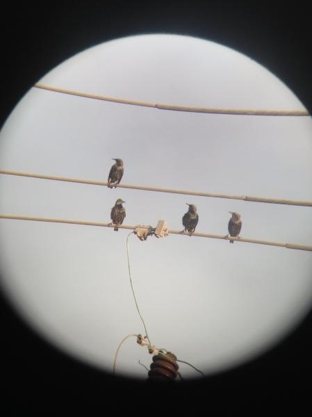 European Starling x4 - raw shot